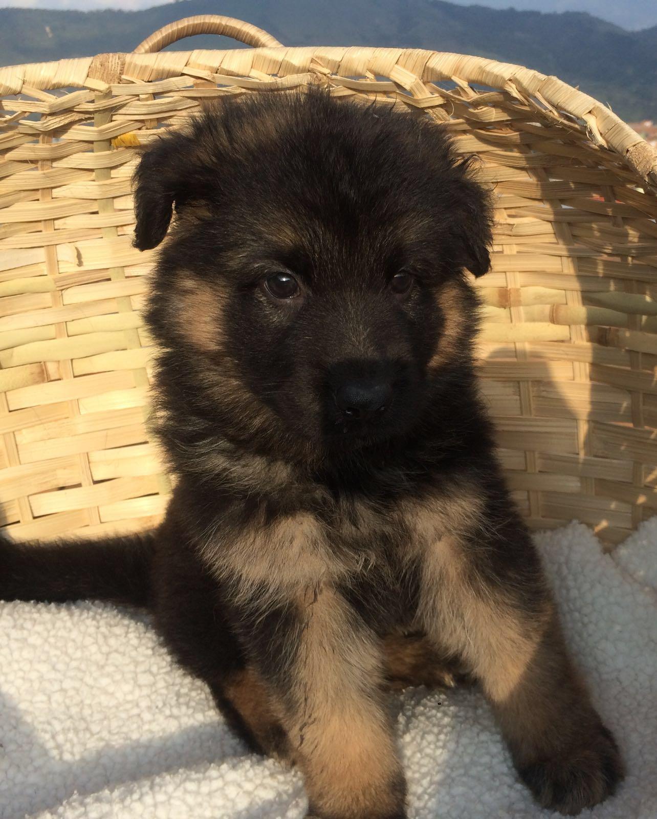 German Shepherd Dog sale Hong Kong 德国牧羊犬出售香港