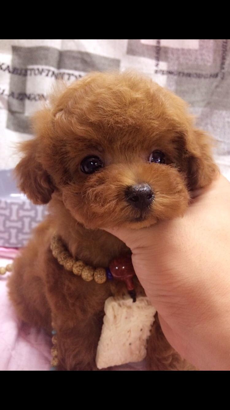 poodle sale hong kong poodle pup buy puppy poodle