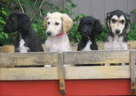 AFGHAN HOUND PUPPIES AVAILABLE