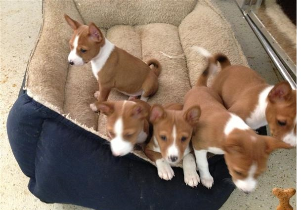 Basenji Puppies Available