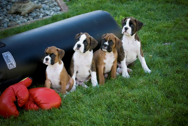 BOXER PUPPIES AVAILABLE