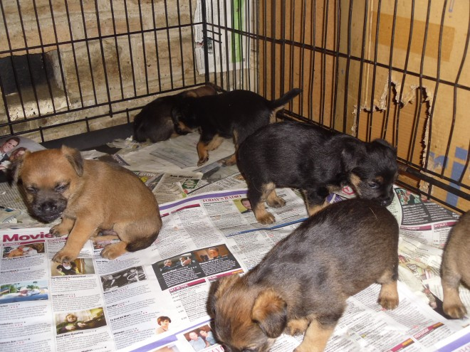 border colliie puppies Available