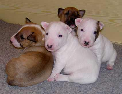 Cute Bullterier Puppies Available