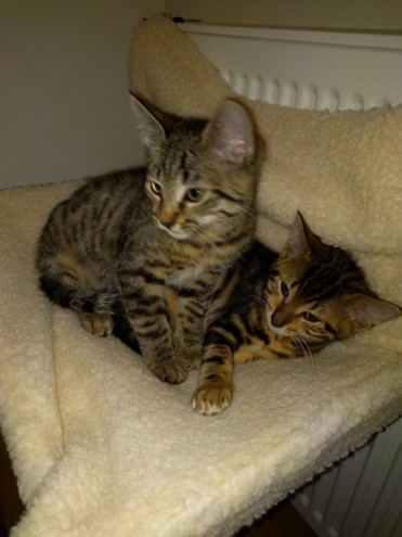 Two Egyptian Mau Kittens