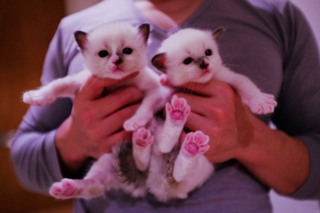 2 Pure Ragdoll Boys Ready For Reserve
