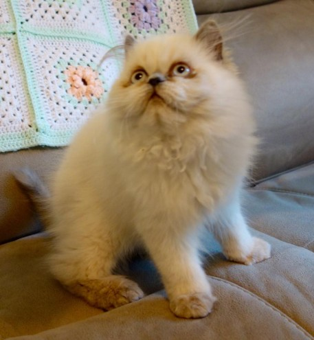 Registered, Colourpoint Persian Kitten
