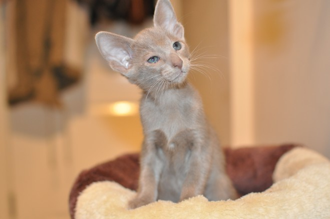Oriental Blue,lilac And Siamese Blue Point Kittens