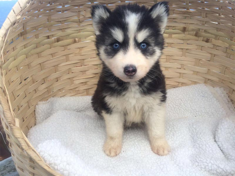 pup male and female Husky