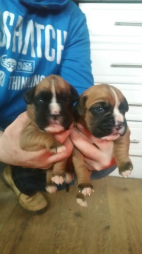 Boxer Puppies Bobtail And Tails Kc Registered