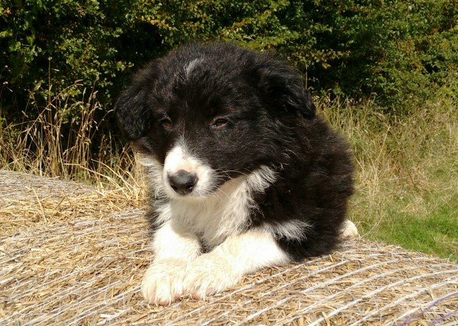 Long Coat Border Collie Puppies For Sale