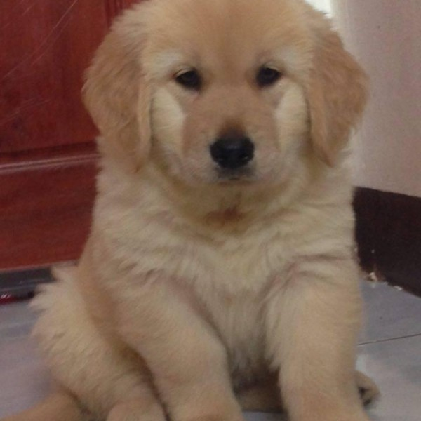 Show Lines Golden Retriever Puppies available