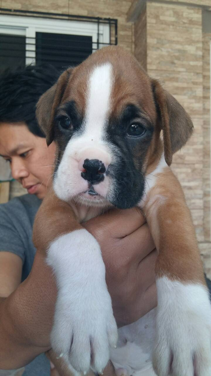 Show Quality Boxer Puppies Ready for lovely homes