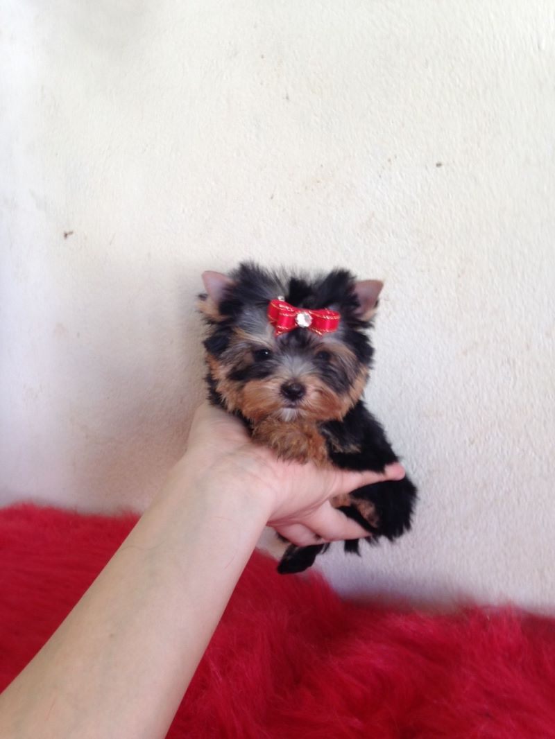 Pedigree Tea Cup Yorkshire Terrier Puppies ready