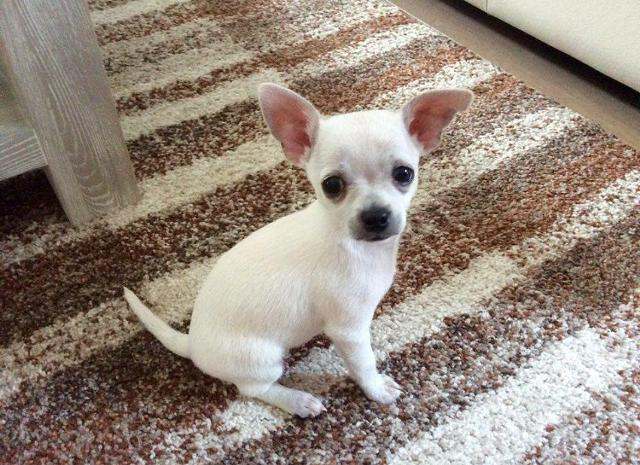 Amazing princes chihuahua puppy for re-homing