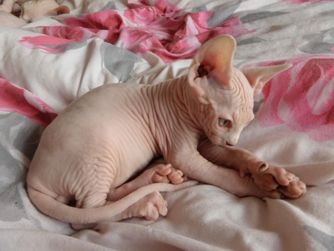 Cats Sphynx for sale  Sphynx breeders hong kong, buy Sphynx
