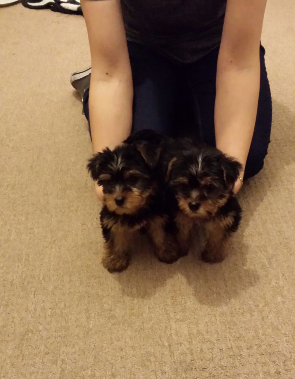 Full Pedigree Yorkshire Terrier Puppies.