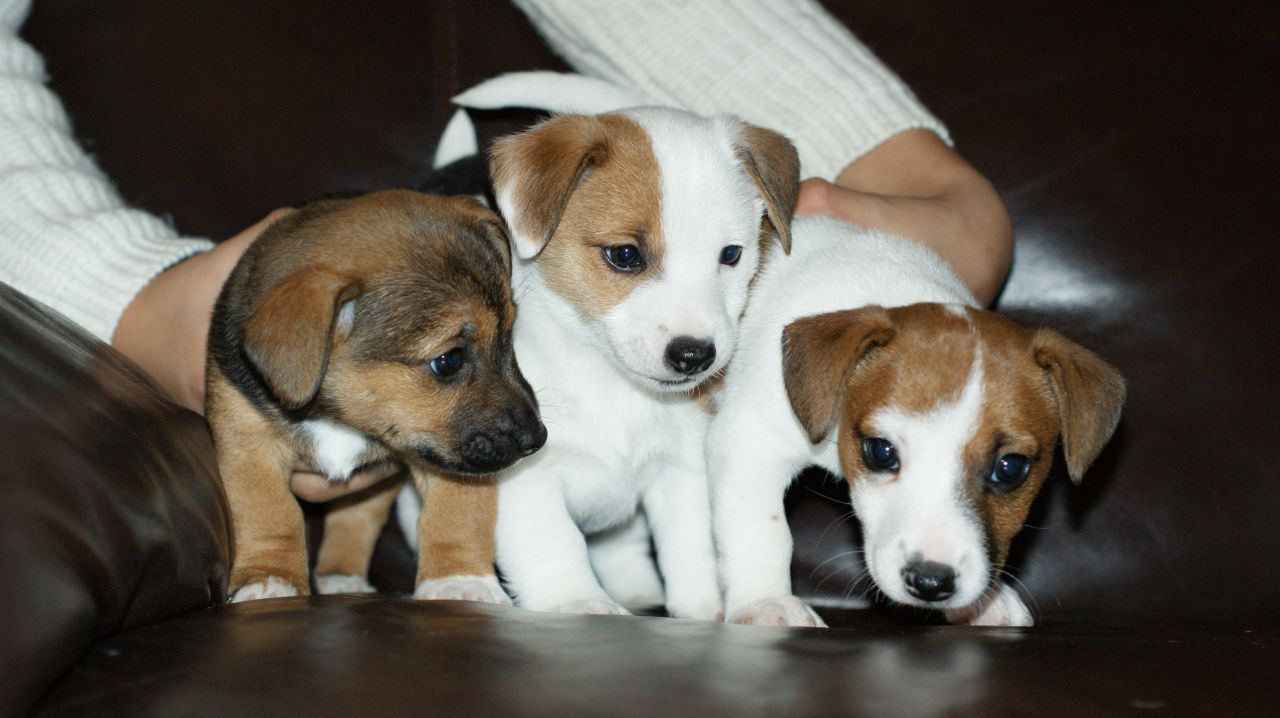 Legally Docked Jack Russell Pups.