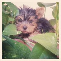 yorkshire terrier breeders hk