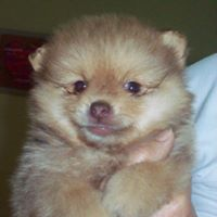 pomeranian teacup sale