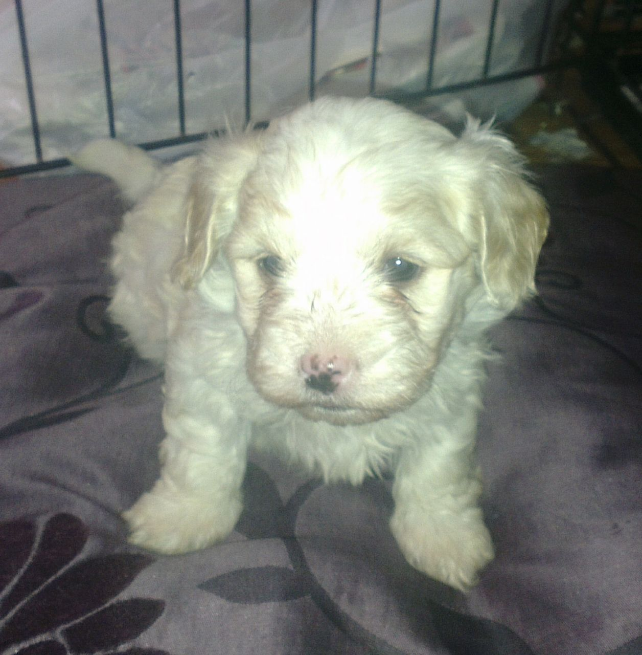 Adorable havanese male puppy � KC reg- pure breed