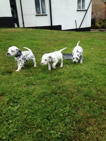 Beautiful Dalmatian Puppies