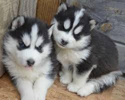 Gorgeous AKC Copper & White Pure Siberian Husky available