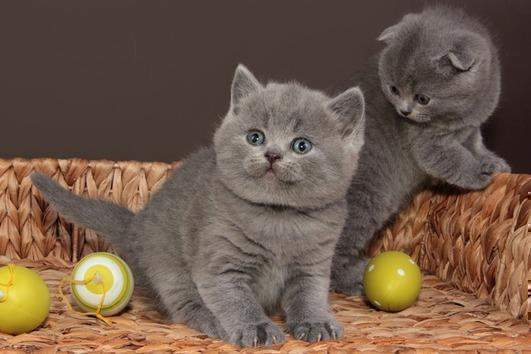 4 British Blue Shorthair kittens ready for new home now.
