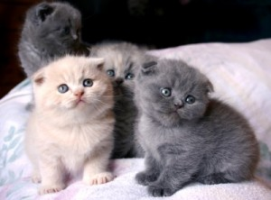 Cute Scottish fold  Kittens for free Adoption