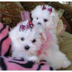 Kc Maltese  Puppies for sale