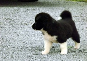 Akita Puppies Ready now