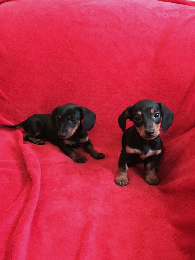 Male and female Miniature Dachshund Puppies