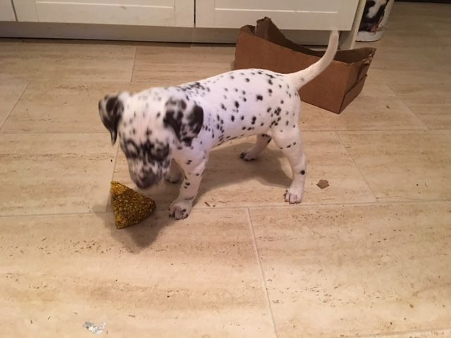Male and female beautiful Dalmatian Puppies