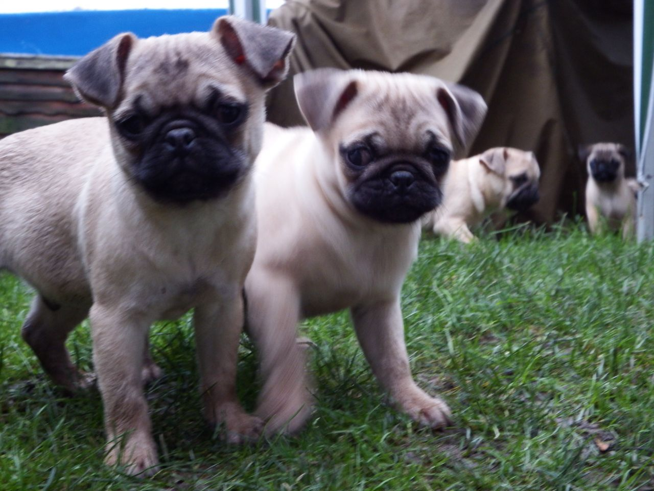 Beautiful Pug Puppies For Sale!!