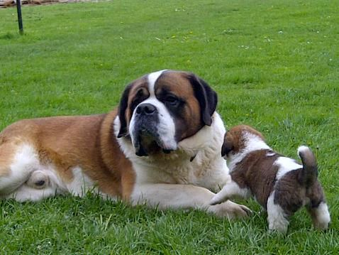 Pedigree St Bernard Puppies For Sale