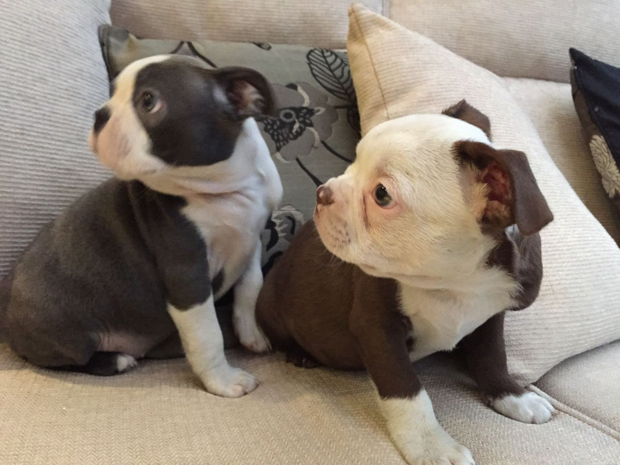 Kc Registered Coloured Boston Terriers