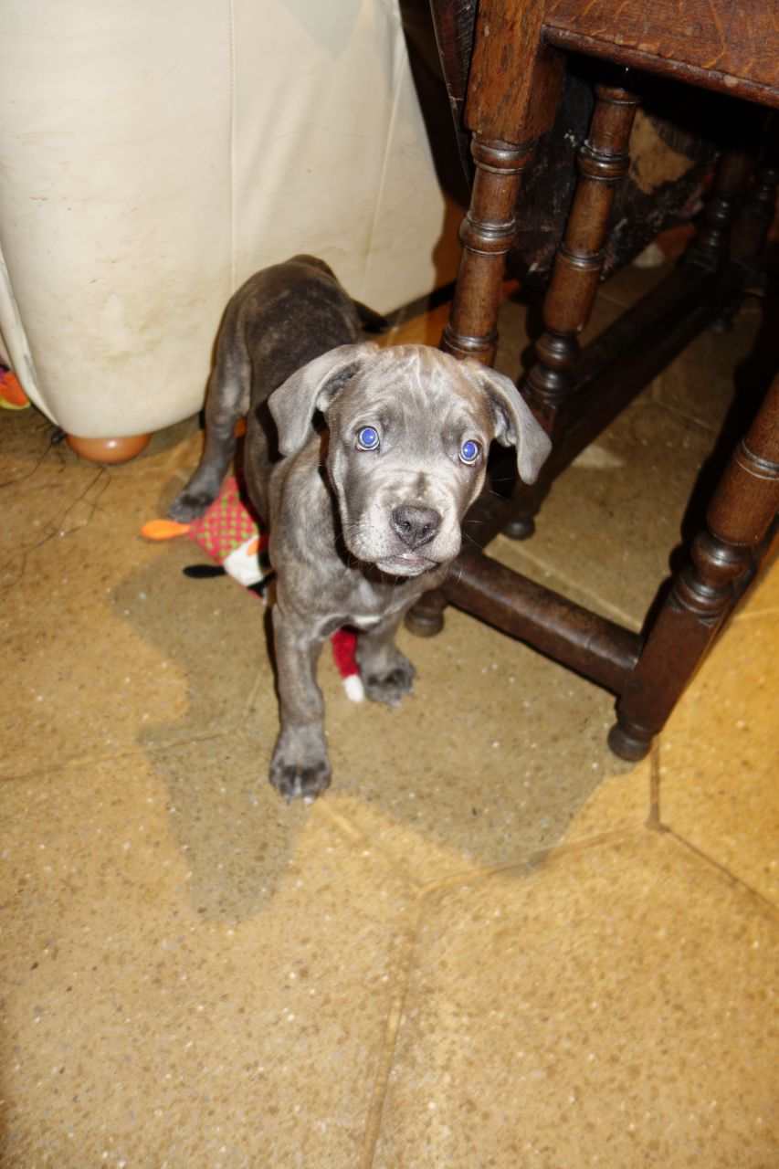 Cane Corso - 1 Brindle Girl Left