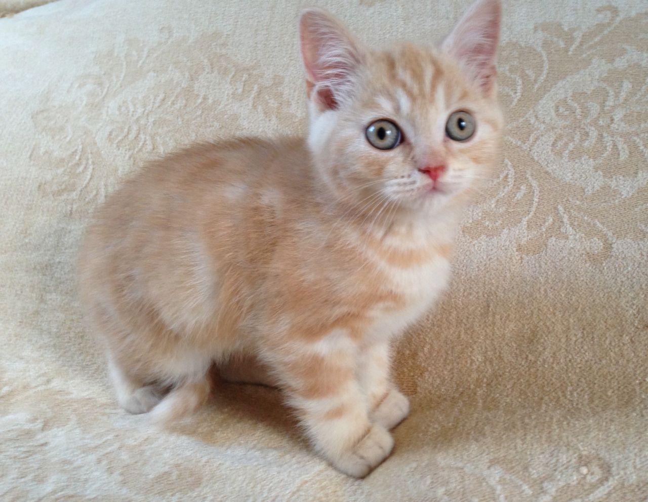 cats scottish fold for sale  scottish fold breeders hong kong  buy scottish fold breeders
