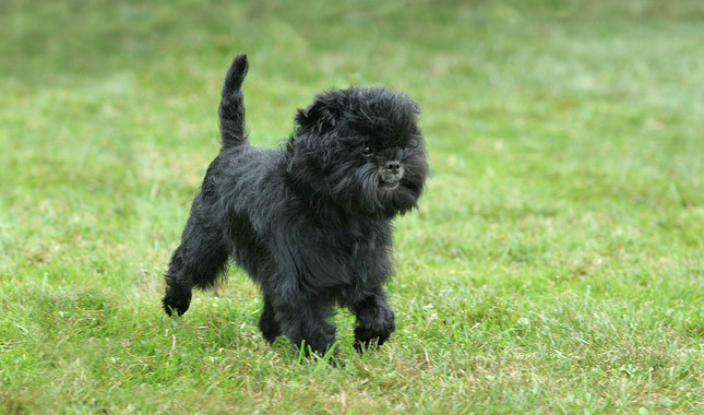 dorable and cute Affenpinscher Dogs Puppies Available