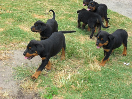 Rottweiler Puppies - Pure Bred