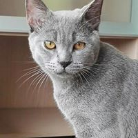 british shorthair 2017 avaliable