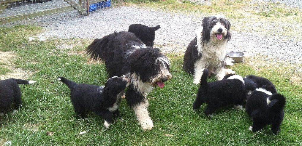 Bearded Collies Puppies for sale