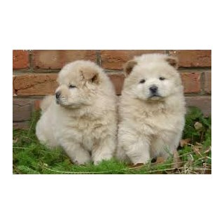 AKC Registered Chow Chow Pups For Sale