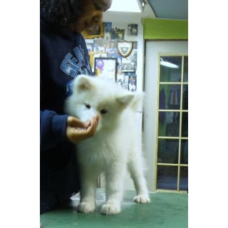 Top Registered Samoyed Puppies For You