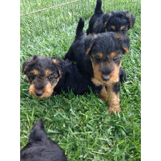 Quality Welsh Terrier Puppies