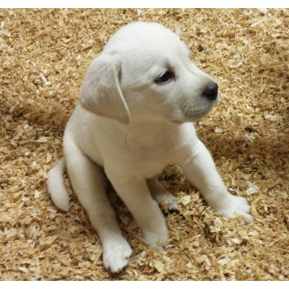 Beautiful White Lab Female Puppy For Sale