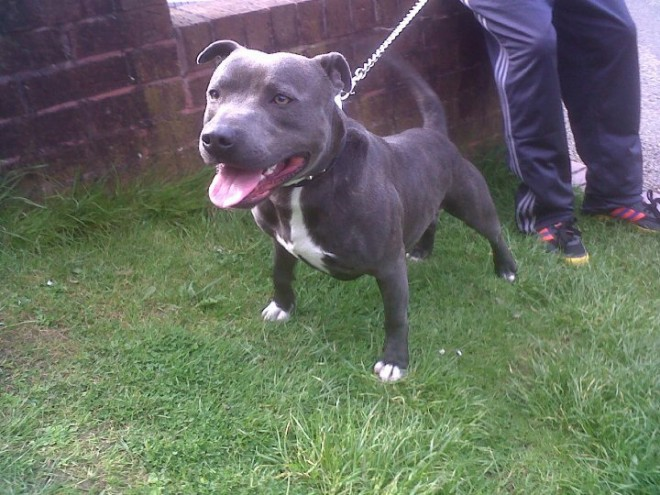 Gorgeous Blue Staffordshire Bullterriers