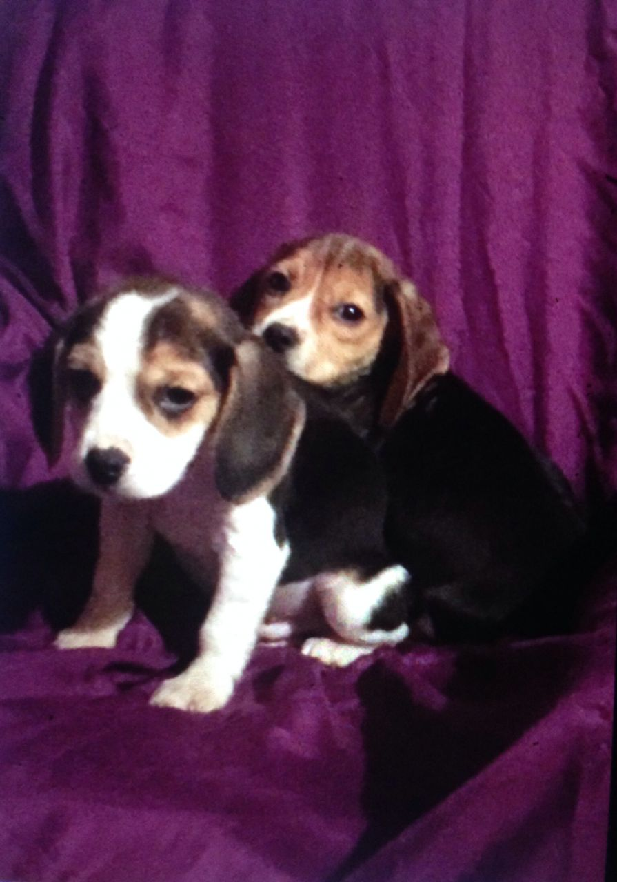 Adorable Litter Of Beagle Puppies.