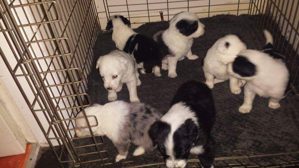 Beautiful Border Collie Puppies For Sale.