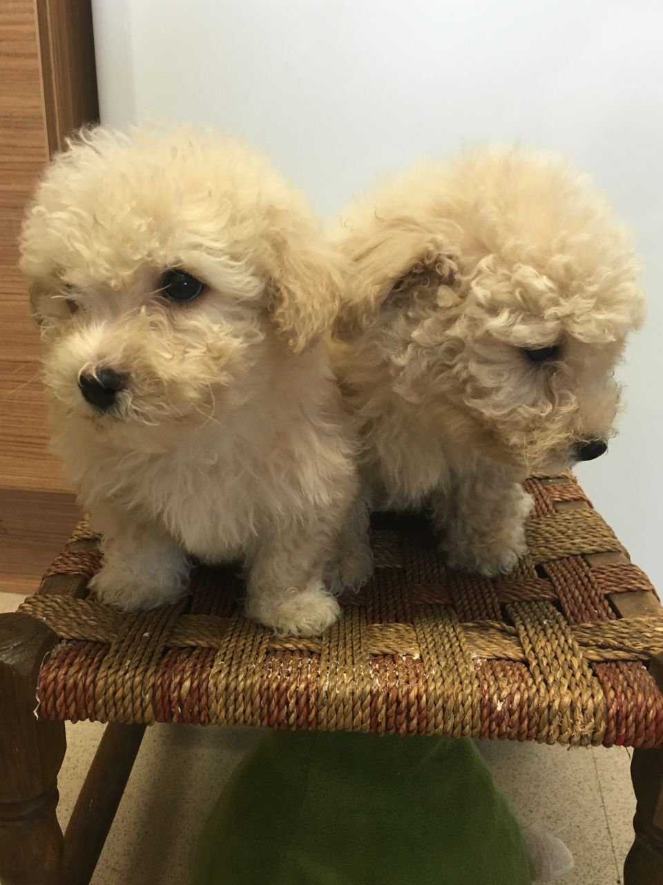 Beautiful Bichon Puppies For Sale.