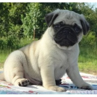 Besty Pug Puppies